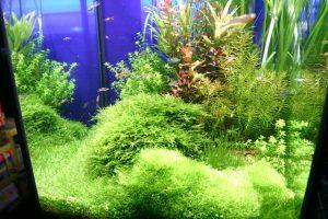 淡水熱帯魚 飼いやすさランキングトップ5!の画像