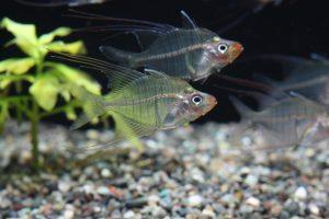一風変わった見た目!透明な熱帯魚5選の画像