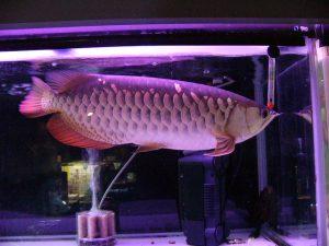何も知らずに飼う前に!意外と大きくなる熱帯魚まとめの画像