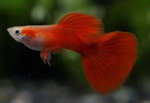 誰もが知ってる熱帯魚!グッピーの魅力と種類の画像