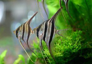 初心者にオススメ。熱帯魚の女王エンゼルフィッシュの画像