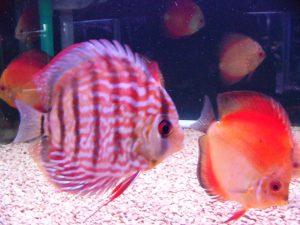 やっぱり華やか!混遊向きの熱帯魚とはの画像