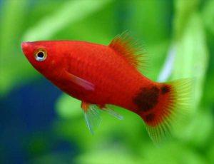 丸みのあるシルエットがかわいい熱帯魚プラティの画像