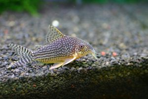 人気の高い熱帯魚!コリドラスの魅力とその飼育方法の画像