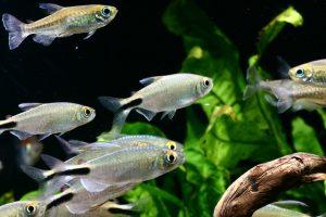 まずは安い熱帯魚から飼いはじめたい。お手ごろ熱帯魚4選の画像