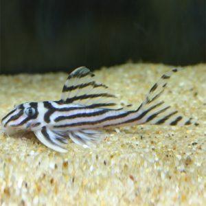 一度は飼ってみたい高額な熱帯魚3選の画像