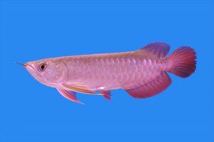 憧れの熱帯魚アロワナ!実は飼育が超難しい!の画像