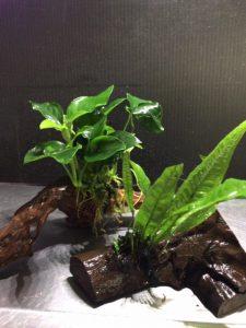 置くだけで水槽が華やかに!水草付き流木をご紹介!の画像