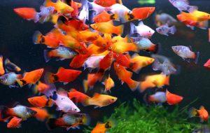 病気の原因にも……熱帯魚の太りすぎに注意!の画像