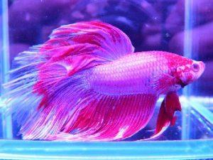 熱帯魚の鱗が取れているのは病気?その原因と対策!の画像