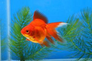 水草と金魚を一緒に楽しみたい!そんな時にオススメの水草3種類の画像