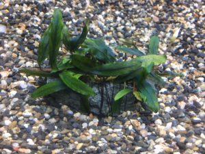 「魅惑の水草、ブセファランドラ――sp.クアラクアヤン タイプⅠ」の画像