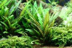 ■元気に育てるための水草の植え方!の画像