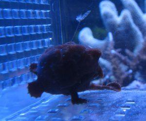 イロカエルアンコウの餌づけ方法の画像