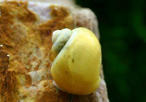 実際どうなの?林檎な名前のアクアリウム生物の画像