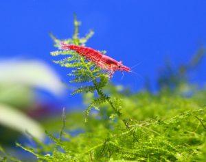 エビなどの甲殻類を水草についた農薬から守ろう!の画像