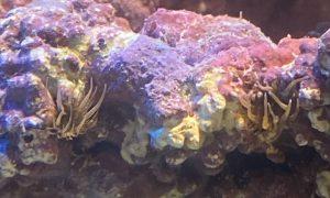 海水魚飼育での厄介者  カーリー対策法のご紹介!の画像