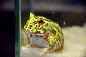ツノガエルを飼ってみよう!の画像