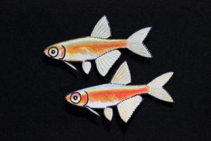 こぢんまりとした小型種グループ・ミクロデバリオの仲間たちの画像