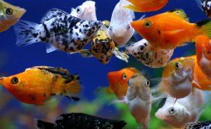 丸い体がチャーミングな熱帯魚!の画像
