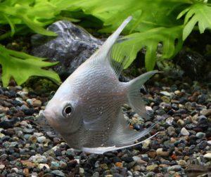 熱帯魚が子育てをする!?子育て上手な熱帯魚!の画像